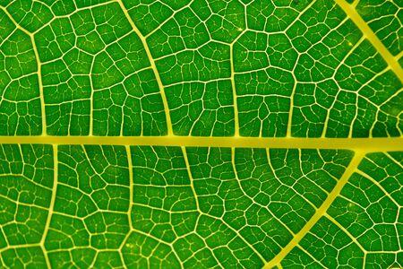papaya tree: Close up green  and yellow papaya leaf Stock Photo