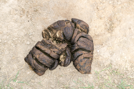dung: Cow dung