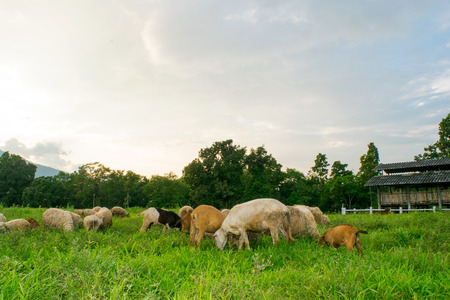 israel agriculture: Goats and sheep eating on Meadow grass in farm
