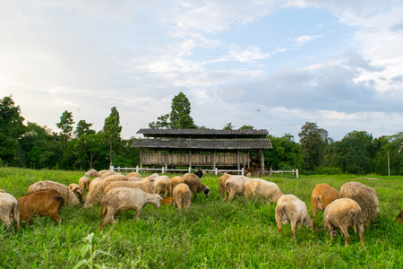 meadow  grass: Goats and sheep eating on Meadow grass in farm