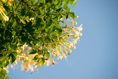 floral objects: Cork Tree , Indian Cork on blue sky Stock Photo