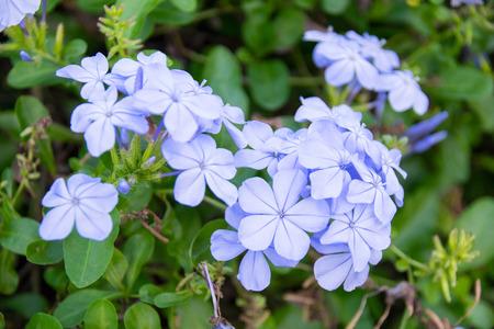 auriculata: Close up Cape Leadwort flower  Plumbago auriculata Stock Photo