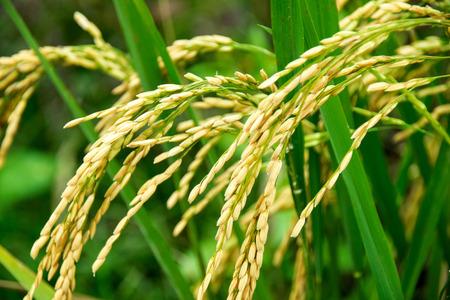 Nahaufnahme von gelben grüne Reisfeld