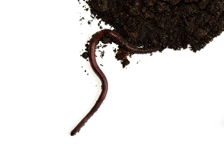 dirt background: earthworm on clay isolate on white background