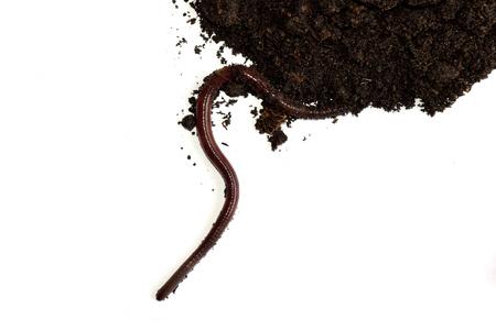 earthworm: earthworm on clay isolate on white background