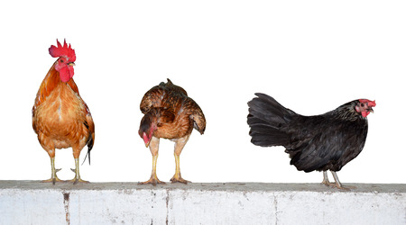crowing: Three chickens on wall isolate on white background