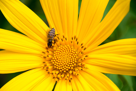tree marigold: Tree marigold or Mexican tournesol or Mexican sunflower or Japanese sunflower or Nitobe chrysanthemum