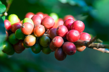 arbol de cafe: Fresh raw coffee beans - Coffee tree branches filled with ripening Coffee Cherries.