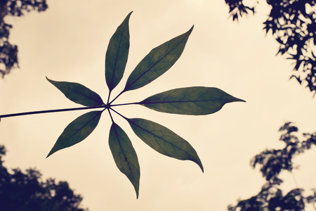 lobed: Leaf the lobes silhouette backlight  vintage style