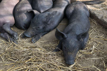 pigpen: Group Cute baby black pig sleeping in pigpen. Stock Photo