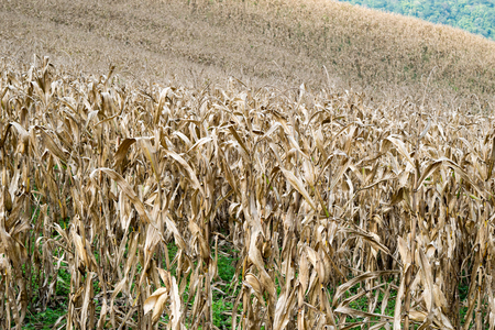 days gone by: The Dried Corn Field  - Fall Harvest Stock Photo