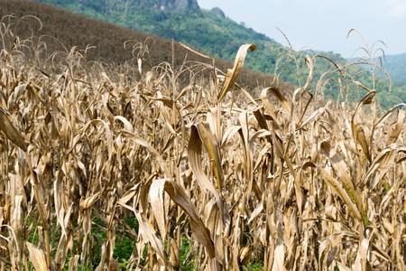 champ de mais: Le champ de maïs séchés - Automne Récolte
