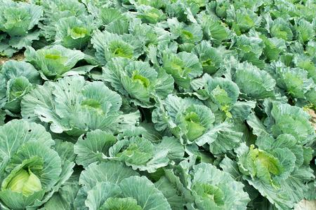 green cabbage: Close up  green cabbage Garden