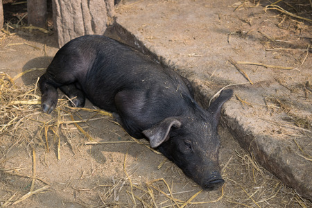 pigpen: Cute baby black pig sleeping in pigpen. Stock Photo