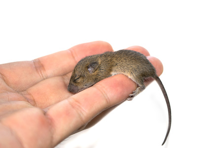 dead rat: Holding rats sleeping isolate on white background
