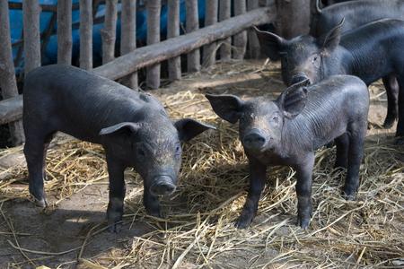 pigpen: Group Cute baby black pig in pigpen.