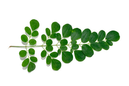 malunggay: Green Moringa leaves isolate on white background Stock Photo