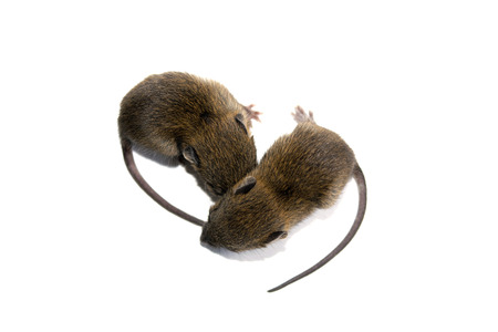 norvegicus: Top view baby rats isolate on white background Stock Photo