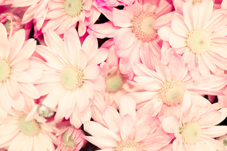 Soft Pink Chrysanthemum flower Soft light style