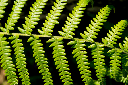 brake fern: Beautiful leaf of fern is close-up background