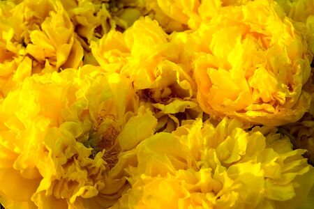 plant gossypium: Yellow Silk Cotton or Butter-Cup flowers Nature abstract background Stock Photo