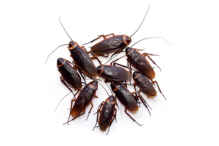cockroach: Group walk cockroach isolate on white background