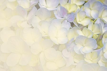 estilo de color suave fondo floral suave flores de hortensia de color púrpura de la vendimia Foto de archivo