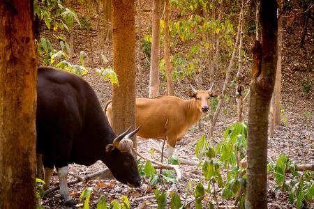 familias jovenes: Gaur o bisonte indio en el bosque