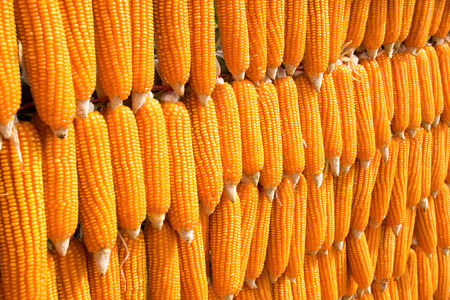 zea mays: Array sort dent corn Zea mays indentata