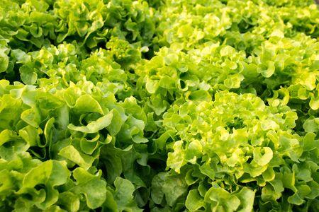 leaf vegetable: Vegetable - Close up Green Leaf Lettuce Stock Photo