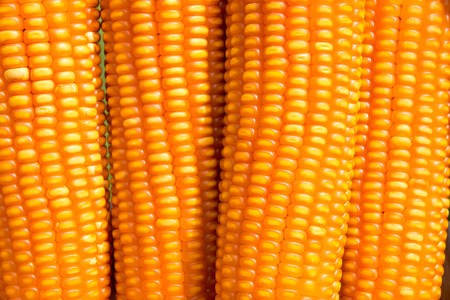 zea mays: Close up dent corn Zea mays indentata Stock Photo