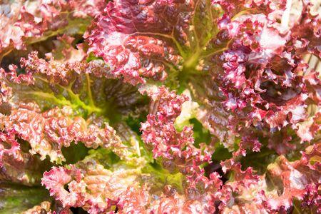 leaf vegetable: Vegetable - Close up Red Leaf Lettuce
