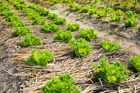 leaf vegetable: Agriculture - Green Leaf Lettuce vegetable garden Stock Photo