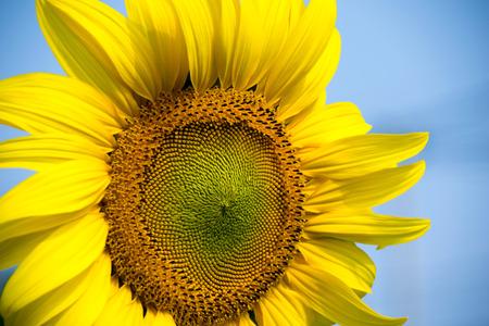 Sun flower: Schöne Nahaufnahme Sonnenblume und blauer Himmel