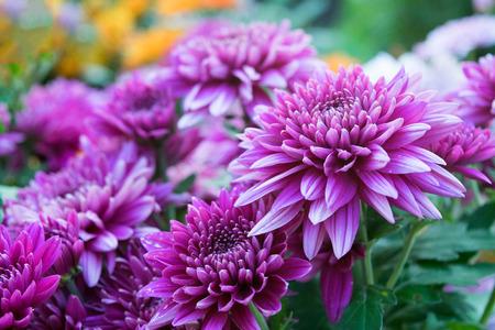 flores moradas: Close up Soft purple Chrysanthemum flowers nature