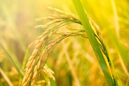黄色水稲のクローズ アップ。スパイクの田んぼ 写真素材