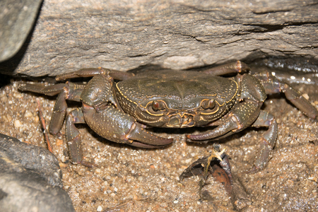 invading: Stream crab or River crab hiding in the rocks