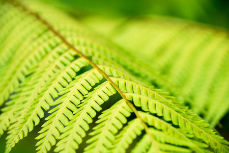 tropical native fern: Close-up Green Fern leaves for nature background
