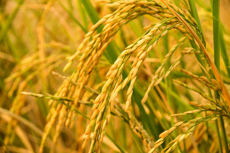 Close up of Yellow paddy rice plant. spike rice field