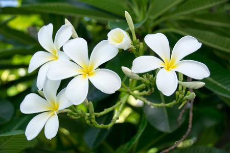 tree jasmine: Evergreen Frangipani, Graveyard Flower or Pagoda Tree or Temple Tree or West Indian Jasmine