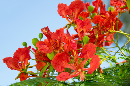 flamboyant: Orange Flowers - Flam-boyant ,The Flame Tree or Royal Poinciana