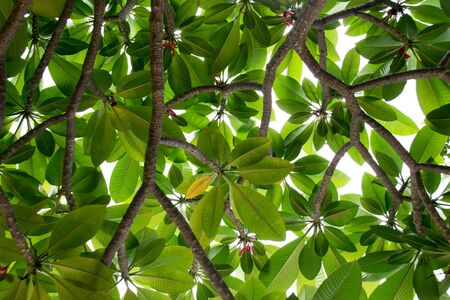 yellow flower tree: Top view to Green leaf of Evergreen Frangipani, Graveyard Flower or Pagoda Tree