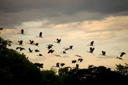 openbill: Open-billed stork or Asian openbill Bird group flying in evening time
