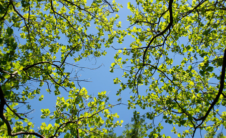 Top view green leaves teak and blue sky