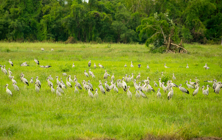 anastomus: Open-billed stork or Asian openbill Bird group in Green meadow Stock Photo