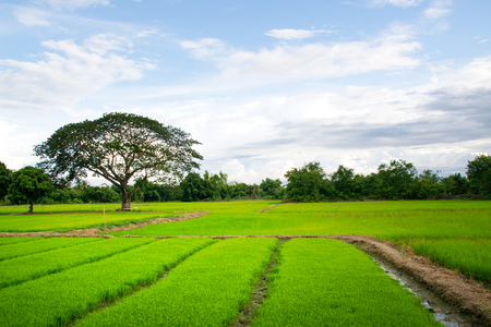 paddy fields: Landscape - Green rice field and sky in thailand Stock Photo