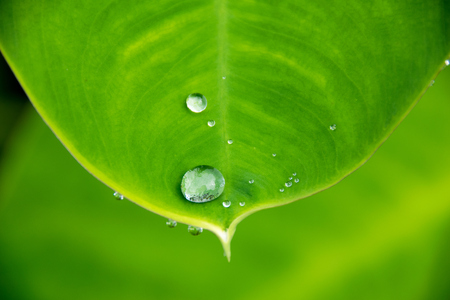 dew drop: Close up water rain drop on green leaf for nature texture background