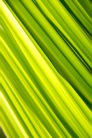 green texture: Soft Green leaf smooth stripe for abstract texture and background