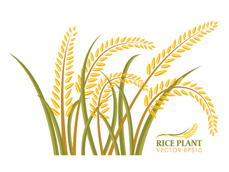 rice paddy: Rice plant isolate on white background design