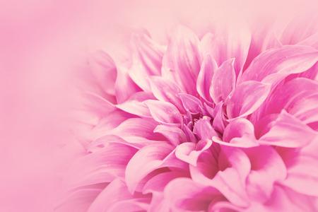 クローズ アップ花ピンク ダリア花柔らかい色のスタイルの背景の壁紙 写真素材